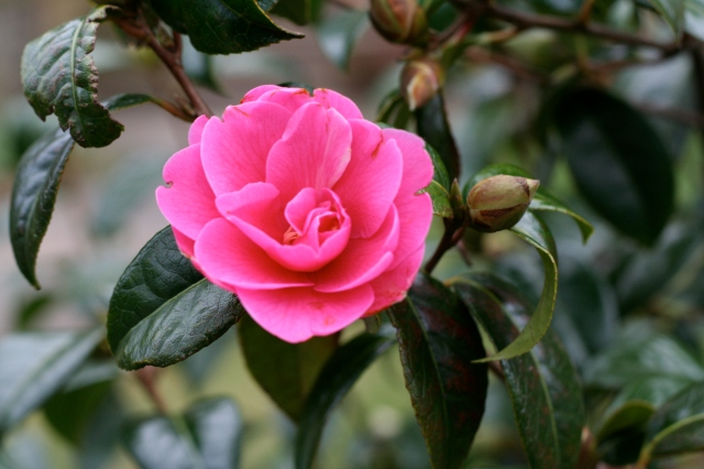 First camelia of the season.