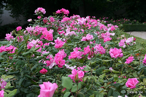 Rose bed bordered by boxwoods.